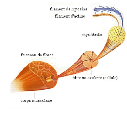 Fibres lentes et fibres rapides